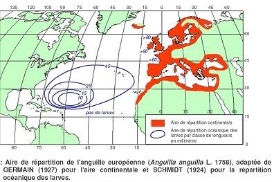 Mapie_anguille2